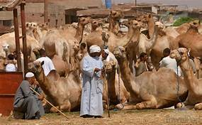 Tour to camel market of Birqash | things to do in Cairo | Cairo day tours
